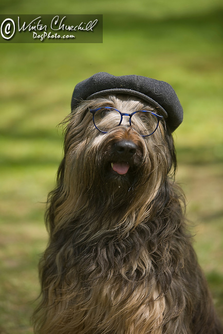 Briard<br /> <br /> <br /> Shopping cart has 3 Tabs:<br /> <br /> 1) Rights-Managed downloads for Commercial Use<br /> <br /> 2) Print sizes from wallet to 20x30<br /> <br /> 3) Merchandise items like T-shirts and refrigerator magnets