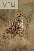 An adult female cheetah ,Acinonyx jubatus, Masai Mara, Kenya