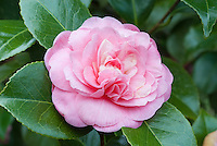 Camellia japonica 'Princess Margaret' flowers