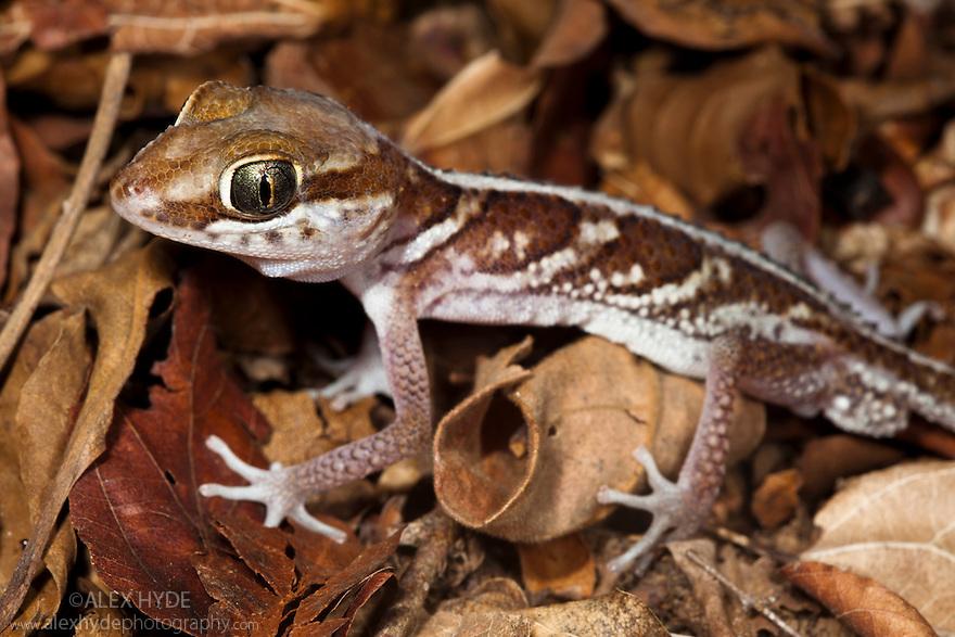 Big eyed / headed gecko {Paroedura pictus} on forest floor. Dry Deciduous Forest, Kirindy Forest, Western Madagascar. October.
