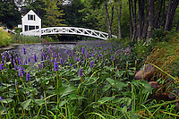 Pickerel Weed at Somesville Footbridge  #L42