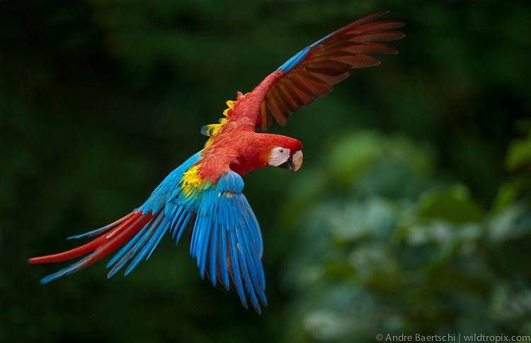 Rainforest Birds Flying Scarlet Macaw (Ara mac...