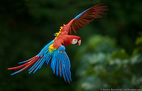 Scarlet Macaw (Ara macao) flying above canopy, lowland tropical rainforest, Manu National Park, Peru