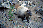 North America, USA, Washington.  Marmot of the Pacific Northwest.