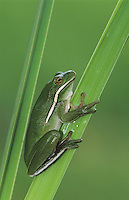 Green Treefrog, Hyla cinerea, adult, Lake Corpus Christi, Texas, USA, May 2003