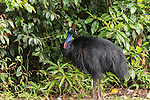 The Southern Cassowary, also known as the Double-wattled Cassowary (family Casuariidae), is native to the tropical forests of New Guinea, nearby islands and north eastern Australia. The name cassowary comes from the Malay name kesuari. The cassowary is the largest avian frugivore in the world. Cassowaries are striking in appearance, with a tall brown casque (helmet) on top of their head, a vibrant blue and purple neck, red wattles and glossy black plumage. The purpose of the casque is unknown and hypotheses include that it indicates dominance, protects the bird&rsquo;s head when running through the forests, or aids cassowaries in hearing the low vibrating sounds made by other cassowaries. They possess small vestigial &lsquo;wings&rsquo; with 5-6 bare quills and a long claw at the tip of the wing.<br /> Southern cassowaries can grow to a height of 2 metres, with males weighing up to 55kg and females up to 76kg. Each leg has three claws, with the medial claw reaching up to 120mm in length! Cassowary chicks differ in appearance, with a striped brown and cream pattern. After 3-6 months, the stripes fade to the brown sub-adult plumage.  This is retained until 12-18 months of age after which the bird begins to take on adult characteristics. Maturity is reached at 3.5 years of age for females and 2.5 years for males.