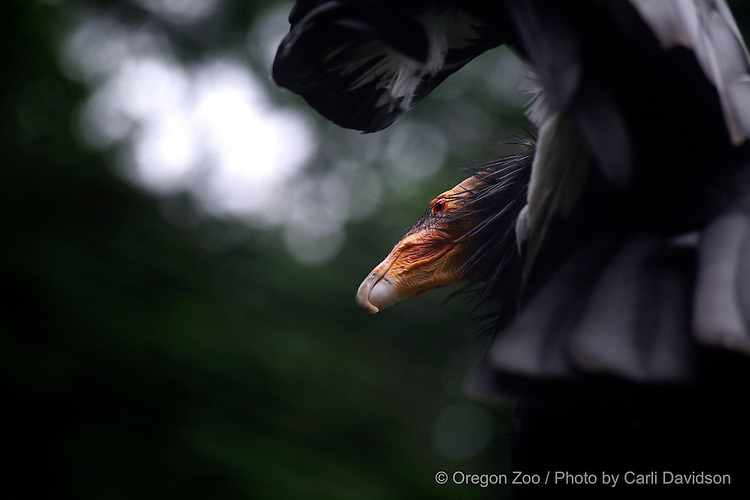 California Condor (Gymnogyps californianus)