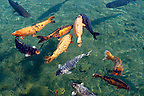 Koi carp in the mill pond  at Tapolca - Balaton, Hungary