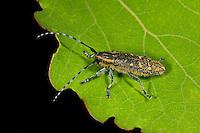 Kleiner Pappelbock, Espenbock, Kleiner Aspenbock, Saperda populnea, Small poplar longhorn beetle, Small poplar borer