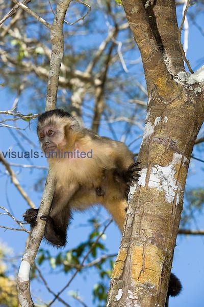 Brown Capuchin Monkey (Cebus apella) Pantanal, Brazil.