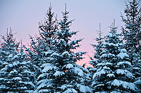 Dusk light over snow covered spruces.