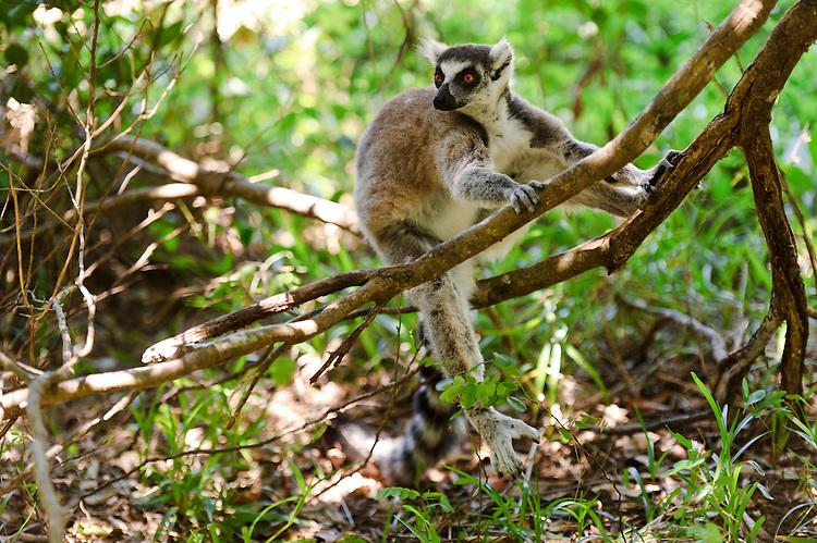 Lemur  Simple English Wikipedia the free encyclopedia