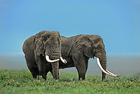 628507040 wild bull elephants loxodonta africana with huge tusks forage in tall grasses in ngorogoro crater national park in tanzania