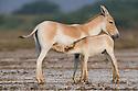 Indian wild ass mother nursing foal (Equus hemionus khur), dry season