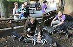 Foto: VidiPhoto<br /> <br /> RHENEN - Een bijzonder moment voor de Hongaarse wolvarkens in Ouwehands Dierenpark vrijdag. Als prelude op Dierendag, zaterdag, werden de harige wroeters in de Rhenense dierentuin flink verwend. Behalve een enorme stapel herfstbladeren met allerlei lekkers, werd er ook een knuffelsessie met verzorgers en zelfs bezoekers ingelast. Wolvarkens of mangalica varkens zijn de laatste tijd ook bij biologische varkenshouders in beeld. Hoewel de dieren langzamer groeien, is het vlees minder vet en veel smaakvoller. De pasgeboren mangalica biggen van Ouwehands worden binnenkort verspreid over diverse kinderboerderijen in het land.