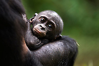 Bonobo baby lying in mother's arms (Pan paniscus), Lola Ya Bonobo Sanctuary, Democratic Republic of Congo.