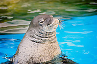 Hawaiian monk seal, Monachus schauinslandi, critically endangered species, endemic to Hawaiian Island chain, Oahu, Hawaii