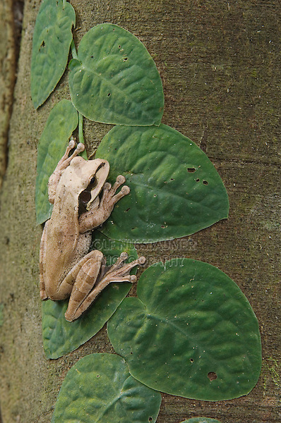 Masked Treefrog, Smilisca phaeota, adult on fig tree, Carara Biological Reserve, Central Pacific Coast, Costa Rica, Central America
