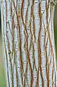 Trunk and bark of snake-bark maple (Acer grosseri var. hersii).