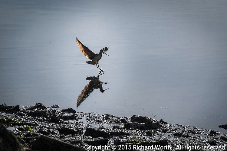 A shorebird meets its reflection along the rocky shoreline at the San Leandro Marina Park on San Francisco Bay.