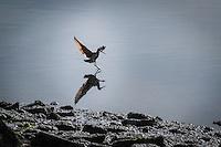 A shorebird meets its reflection along the rocky shoreline at the San Leandro Marina Park on San Francisco Bay.