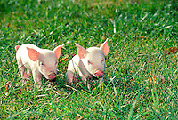 Two piglets romping side by side in green grass