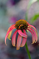 "Echinacea 'Tomato Soup'.Stunning warm, tomato-red flowers to 5"" wide. A real treat to 3' tall and nearly as wide covered with flowers till frost. Plants are well branched and show excellent vigor.Easy to grow in full sun with good drainage."
