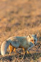 Red fox hunts on the tundra of Alaska's arctic north slope.