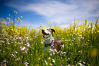 Ollie the wonder dog in field with yellow flowers in Sacramento, CA on March 30, 2011.