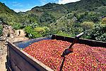 Full truck of coffee cherries on coffee farm in San Marcos de Terrazu, Costa Rica.
