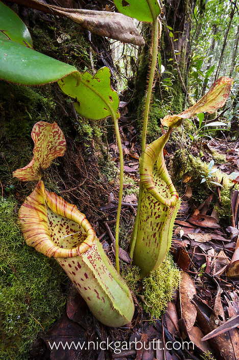 Large pitchers of natural hybrid Pitcher Plant (Nepenthes stenophylla x Nepenthes veitchi). Montane mossy heath forest or 'kerangas', southern plateau, Maliau Basin, Sabah's 'Lost World', Borneo.