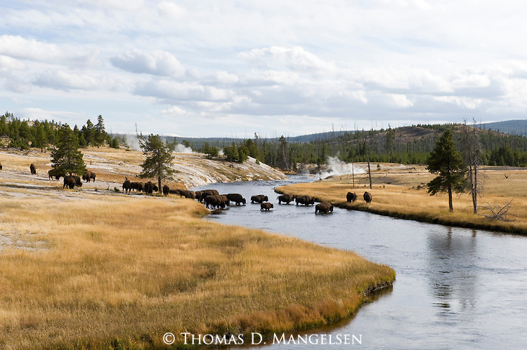 A herd of bison cross a river, back dropped by steam created by run off from hot springs in Yellowstone National Park, Wyoming.