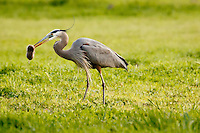 A Great Blue Heron (Ardea herodias) hunting rodents at Cachuma Lake County Park