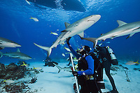 RW2071-D. Caribbean Reef Sharks (Carcharhinus perezi) circling scuba divers, one approaching closely enough to receive a gentle touch by a woman. Caribbean Reef sharks range from Florida to Brazil, inhabiting waters from the surface to over 1000 feet deep. They grow to 10 feet long, and their diet consists primarily of bony fishes. They tend to be solitary or in loose groups. Litter size is 4-6 pups. Bahamas, Atlantic Ocean.<br /> Photo Copyright &copy; Brandon Cole. All rights reserved worldwide.  www.brandoncole.com