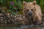 Brown bear cub, Katmai National Park, Alaska, USA