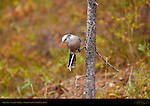 Gray Jay, Lamar Valley, Yellowstone National Park, Wyoming