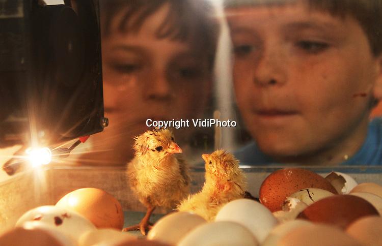 Foto: VidiPhoto..BARNEVELD - Kuikenknuffelen met de Paasdagen in Barneveld. Het Pluimveemuseum in Barneveld laat woensdag extra kuikens uitbroeden voor de Paasdagen. Voor het kippen- en eierenmuseum is het dan de drukste tijd, waar vooral veel kinderen op af komen. Woensdagmiddag konden ze alvast een voorproefje krijgen en de pasgeboren kuikentje bekijken en knuffelen. Het Pluimveemuseum, dat zich presenteert als het verlengstuk van de boerderij, trekt ieder jaar meer (internationale) bezoekers. Foto: Kuikentjes worden uitgebroed..