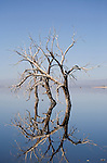 Reflection of three dead trees near Red Hill Marina, Hazard Tract, Salton Sea, California.  Sonny Bono Salton Sea Wildlife Refuge (EL -227ft), located along the course of the Pacific Flyway in the Imperial Valley of California.  Flooding by the Salton Sea has reduced the manageable area from 36,700 acres to 2,200 acres.  Dykes (dikes) now limit further encroachment.