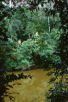 West Africa, rainforest in southwest Ivory Coast, along Hana River (a tributary of the Cavally River). Blooming climbing palm is Laccosperma secundiflorum (Arecaceae).