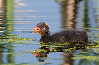 Baby American Coot swimming on a small lake