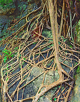 Fig Tree Roots, Karst Landscape near Yangshuo Guangxi, along the Li River, People's Republic of China