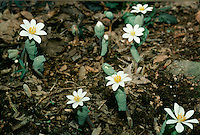Bloodroot, Sanguinaria canadensis, native, wildflower, march, spring, easter, forest floor, flowers, flower, white,