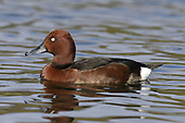 Ferruginous Duck - Aythya ferruginea - male