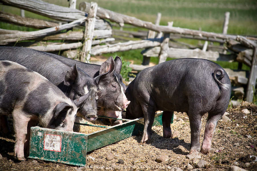 http://cdn.c.photoshelter.com/img-get/I0000zZH5IIfx95s/s/900/900/Pigs-Berkshires-LB0706-8419.jpg