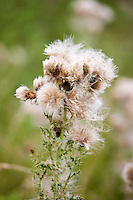 Thistle with seeds spreading by wind dispersal in a field in The Cotswolds, Gloucestershire, UK