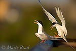 Forster's Terns (Sterna forsteri) courting pair, Bolsa Chica Ecological Reserve, California, USA