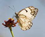 Common Gull Butterfly, Cepora nerissa, feeding on flower, blue sky background, Corbett National Park, Uttarakhand, Northern India, .India....