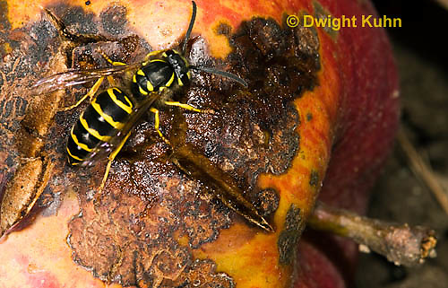 WA02-514z  Eastern Yellowjacket worker eating apple fruit decaying on ground, Vespula maculifrons