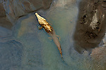 Costa Rica, American Saltwater Crocodile, Rio Tarcoles, Carara Wildlife Refuge