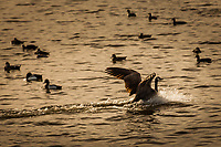 A Canada goose lands with a splash on San Leandro Bay at the Martin Luther King Jr. Regional Shoreline in Oakland, CA.